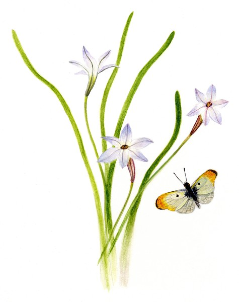 Glory of the Snow and Yellow Tipped Butterfly (<i>Chionodoxa</i>)<br>© Judy Brown