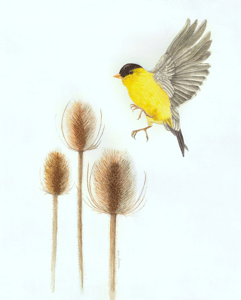 Teasle and American Goldfinch (<i>Dipsacus</i>)<br>© Judy Brown
