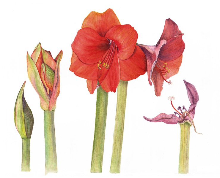 Amaryllis Life Stages (<i>Hippeastrum</i>)<br>© Judy Brown