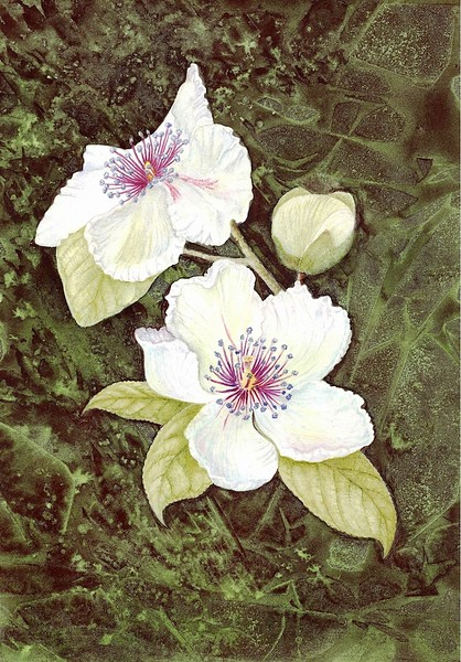 Virginia Camellia (<i>Stewartia malacodendron</i>)<br>© Judy Brown