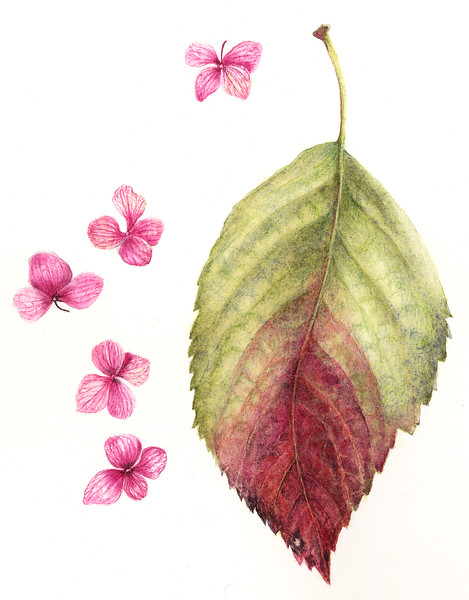 Fall Leaf and Flowers (<i>Hydrangea macrophylla</i>)<br>© Judy Brown