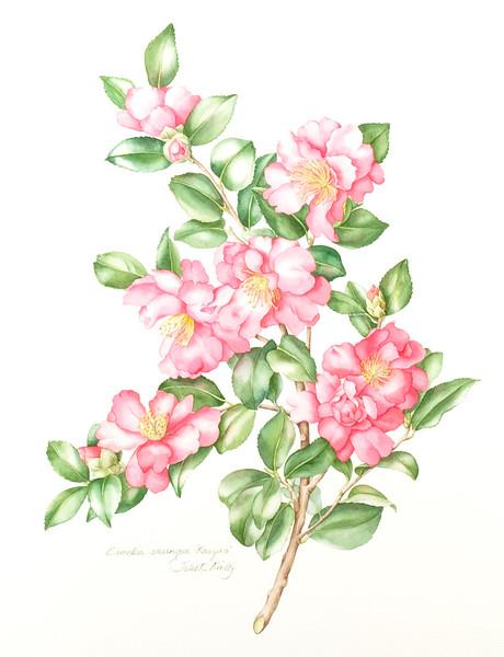 <i>Camellia sassangua</i> 'Kanjiro'<br>© Juliet Kirby