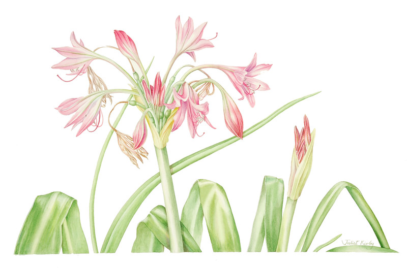 <i>Crinum</i> x <i>powellii</i><br>© Juliet Kirby