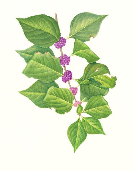 American Beautyberry (<i>Callicarpa americana</i>)<br>© Karen Coleman