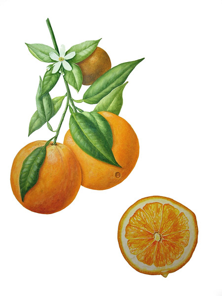 Navel Orange (<i>Citrus sinensis</i>)<br>© Karen Coleman
