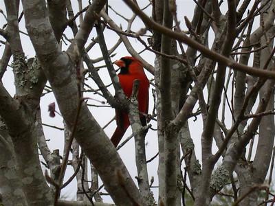 Kevin Sheehan - Cardinal in Bradford Pear