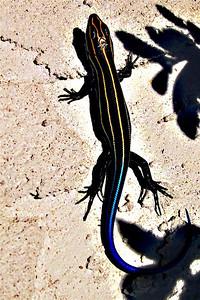Kevin Sheehan - Neon Salamander
