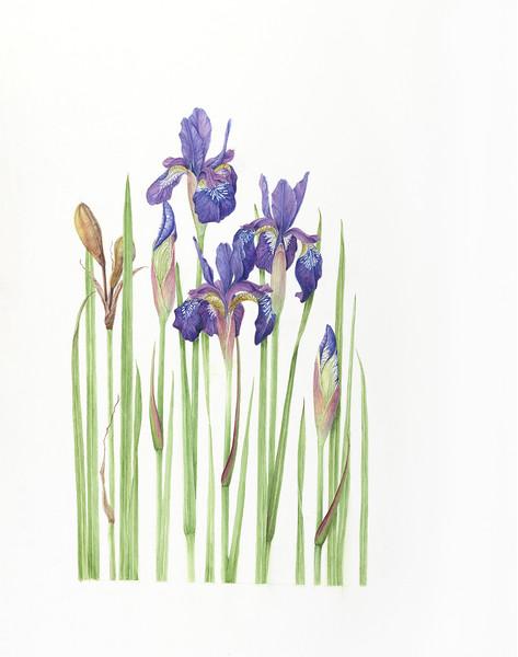 Siberian Iris (<i>Iris siberica</i>)<br>© Lee Boulay D'Zmura