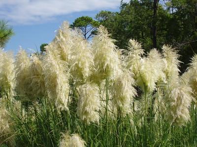 Marilyn Mattutat  - Pampas Grass