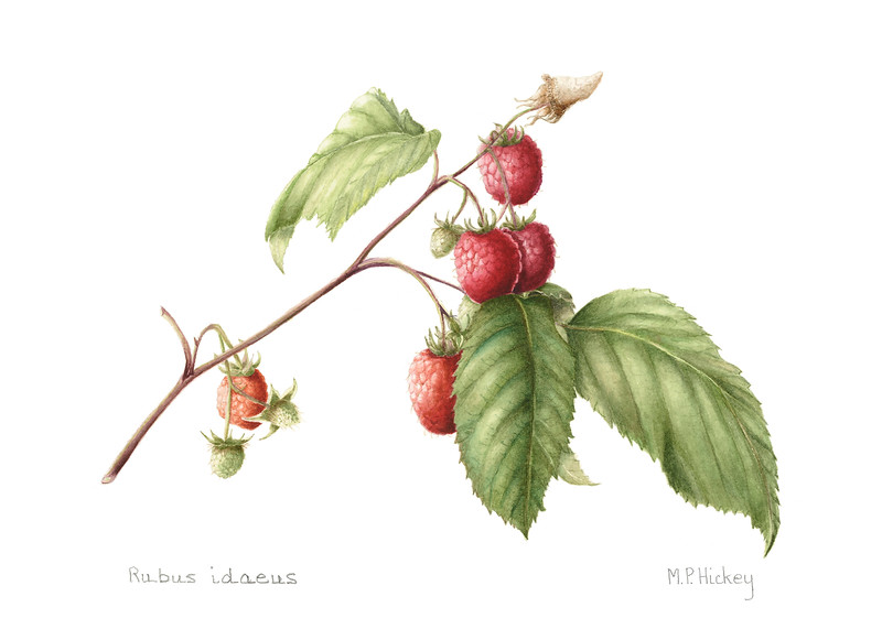 Native raspberry (<i>Rubus idaeus</i>)<br>© Mary Page Hickey