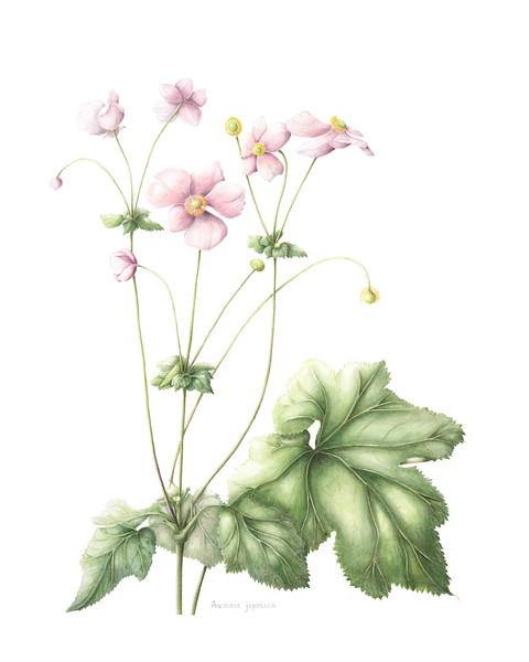 Japanese anemone (<i>Anemone Japonica</i>)<br>© Mary Page Hickey