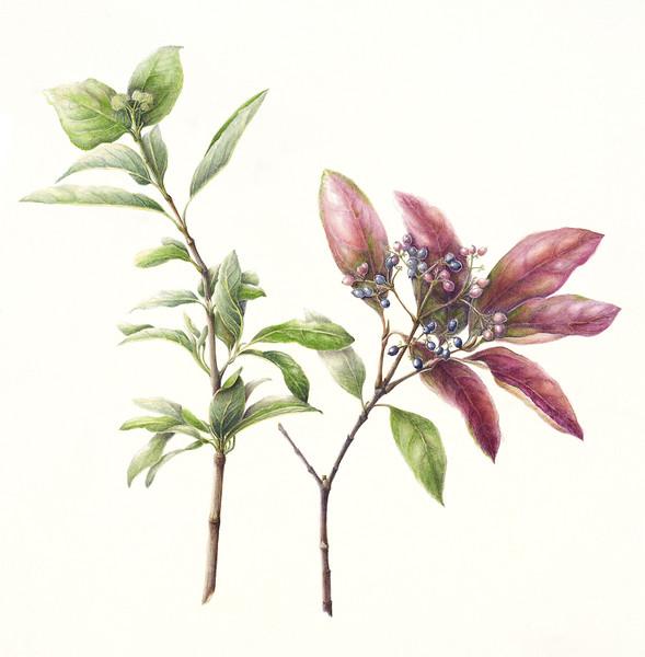Possumhaw viburnum (<i>Viburnum nudum</i>)<br>© Mary Page Hickey