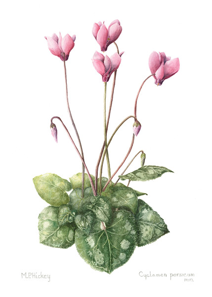 Persian cyclamen (<i>Cyclamen persicum</i>)<br>© Mary Page Hickey