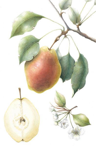 Bartlett pear (<i>Pyrus communis</i>)<br>© Mary Page Hickey