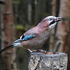 Eurasion Jay - part of Taylor Trophy Wining Panel 2016-17