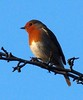 35 Robin in tree_118_B