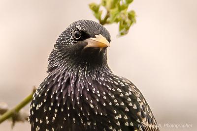 starling-close