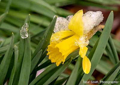 icy-daffodil