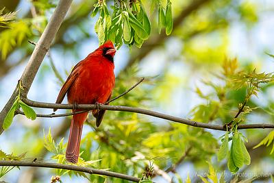 cardinal-open