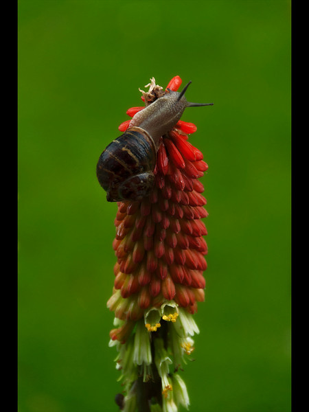 140A-Nature-Snail On A Red Hot Poker (15)