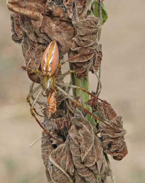 20 Madagascan_Spider-PK
