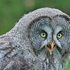 84 Great Gray Owl - 135A