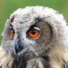 83 Juvenile Owl - 135A