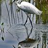 Little Egret - PN