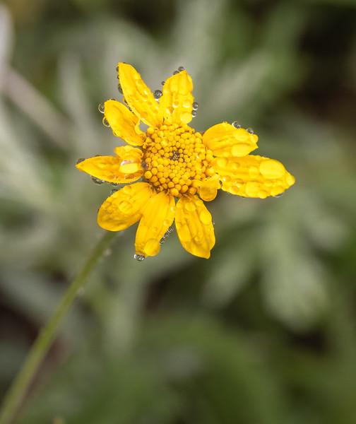 01 s pike dewy daisy