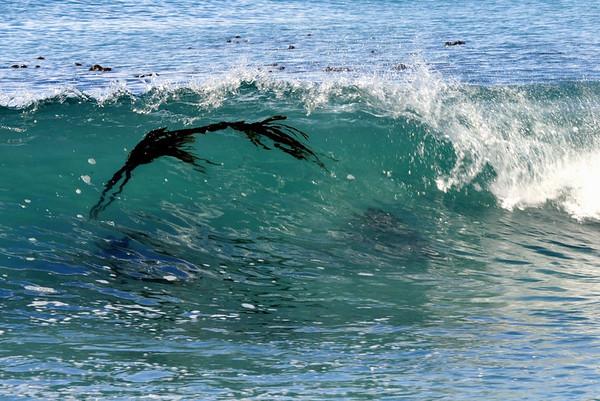 Surfing Kelp (1280x855)