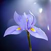 Dreamy Iris