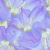 Collage of Iris