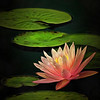 Waterlily Portrait
