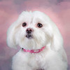 Lily the Maltese