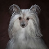 Merak the Chinese Crested