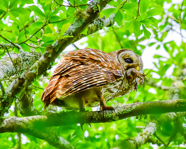 Barred Owl Breakfast