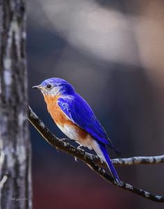 Bluebird Oil