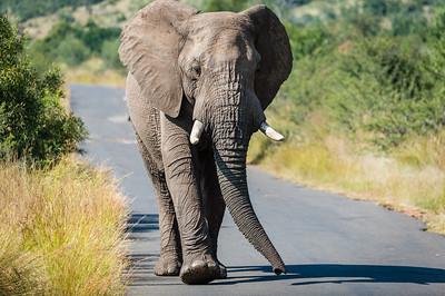 Pilensberg Elephant