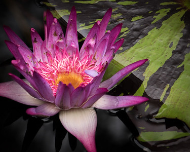 Pink Waterlily-2237