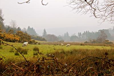 Glendalough Sheep