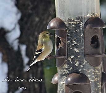 Goldfinch - winter