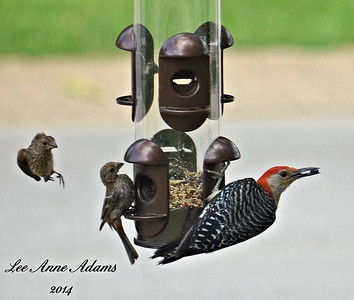 Red-Bellied Woodpecker and FM House Finch