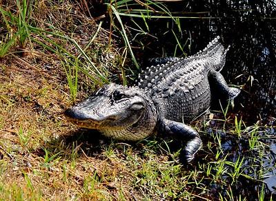 24 Alligater