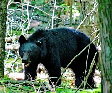 22 Moma Bear