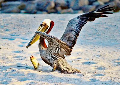 8  Pelican fish