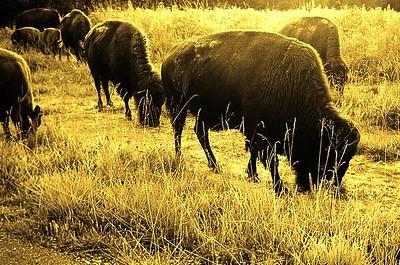 11 Bison