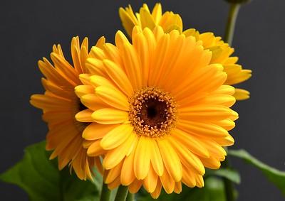 marygeorgeson_gerber daisy