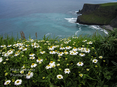 Daisies at the Cliffs of Moher, Ireland