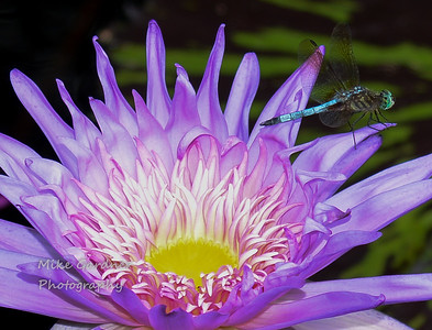 Water Lilly at the Botanical Gardens, Birmingham