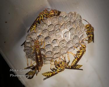 Guinea Wasp